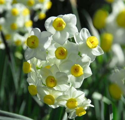 Daffodil Avalanche, Bareroot Bulbs (Group of 5)