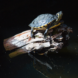 Turtle Tuesdays, June 16  2020, 2-3 p.m.